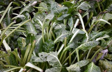 Swiss Chard during winter in Toronto