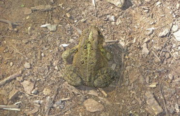 Toad in Bronte Creek Provincial Park in Oakville